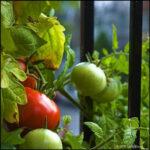 Cosechan verduras en jardínes por crisis