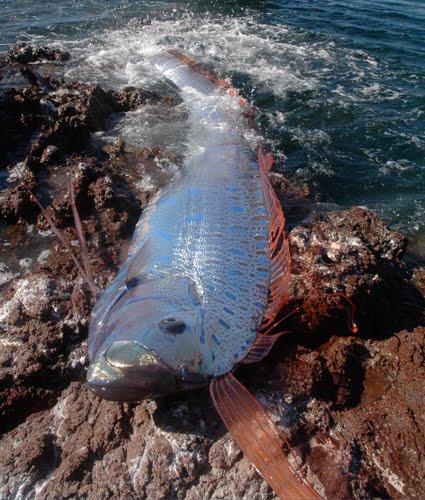 Oarfish conocido como pez Remo anuncia terremotos en Japón y en donde se aparece.