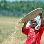 El cambio climático podría acabar con el arroz
