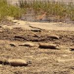Más de 16,000 ratas muertas en playas de Mississippi