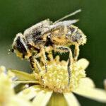 La desaparición de abejas es drástica