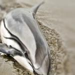 Alertan por muerte inusual de delfines