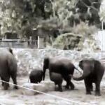 En Israel elefantes se asustan por sonido de sirenas